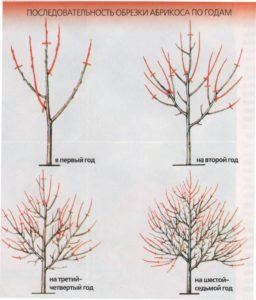 Схема обрезки абрикоса в зависимости от года после посадки