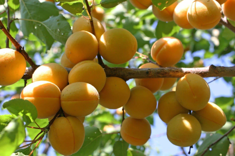 Внешний вид абрикоса сорта Лель