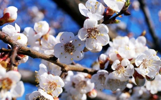 Цветение абрикоса Лель крупным планом