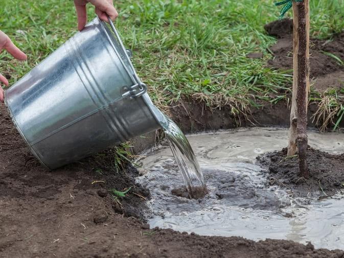 Чтобы полив был качественный, рекомендуется сделать небольшую лунку или углубление у ствола