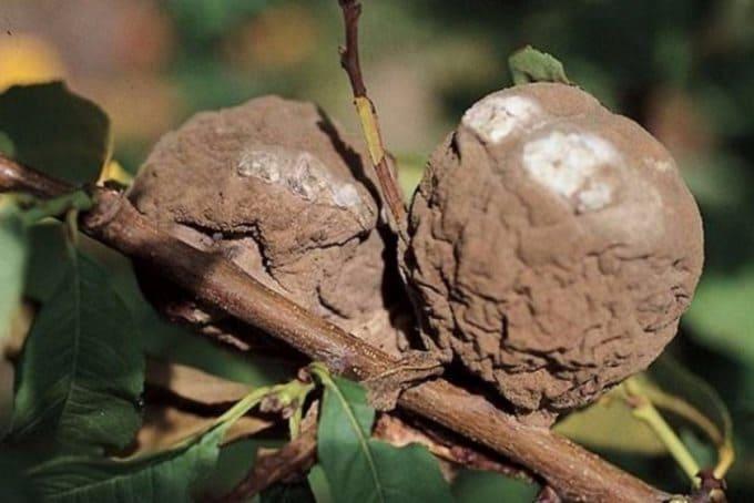 Признаки монилиоза – это высохшие бурые листья и гнилые плоды, остающиеся прямо на ветках