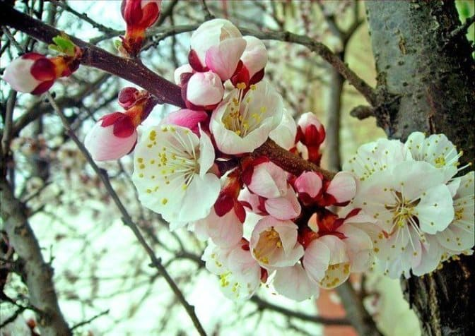 Цветущий абрикос - настоящее украшение для сада