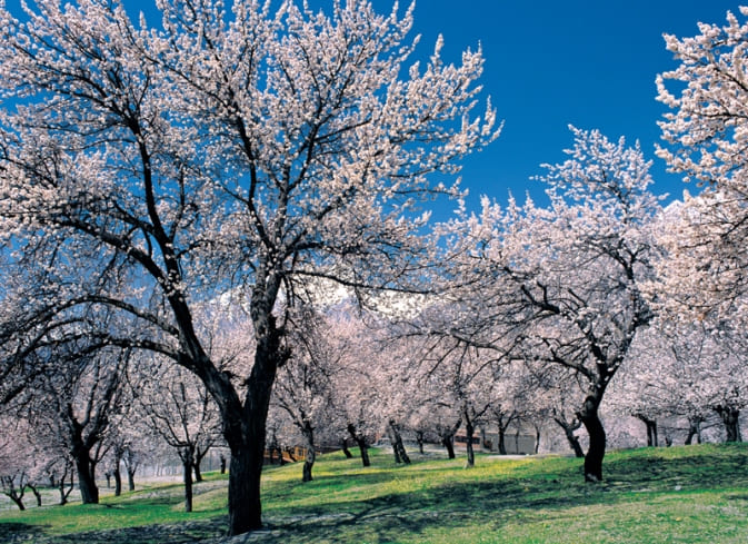 Цветущее дерево абрикоса