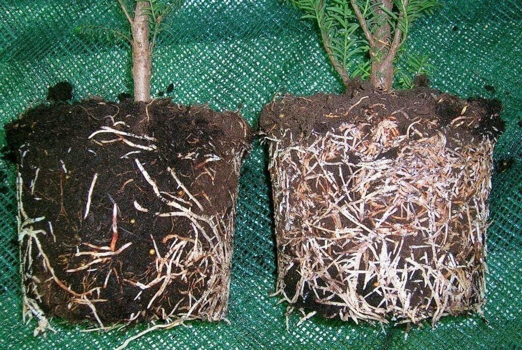 Влияние Корневина (стимулятора роста корней) на растение