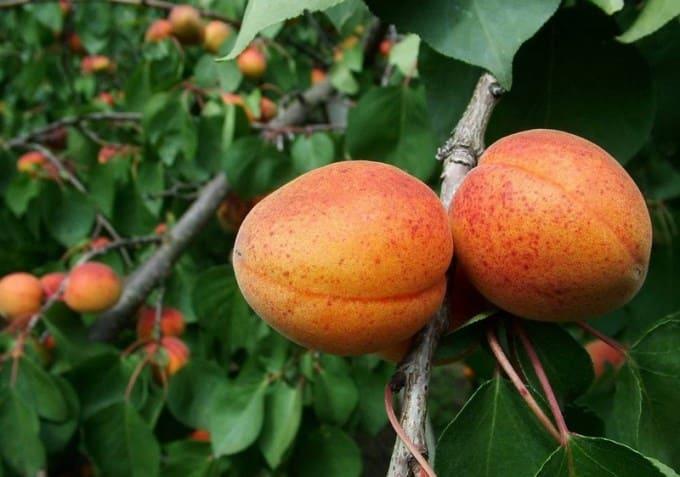 Внешний вид абрикоса Алеша