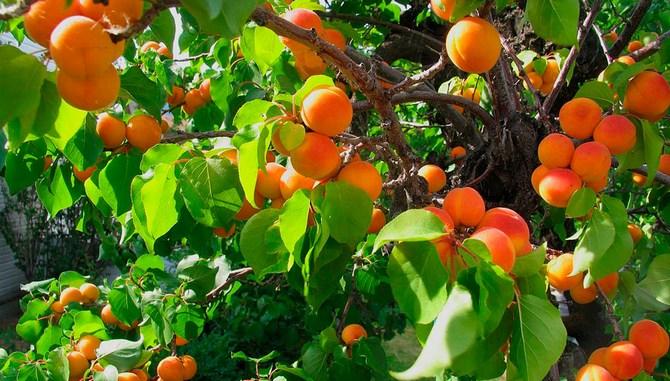 Рядом лучше всего сажать другие сорта абрикоса