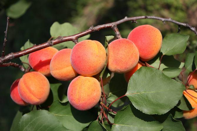 Сорт абрикоса Монастырский подходит для разведения в центральной полосе России