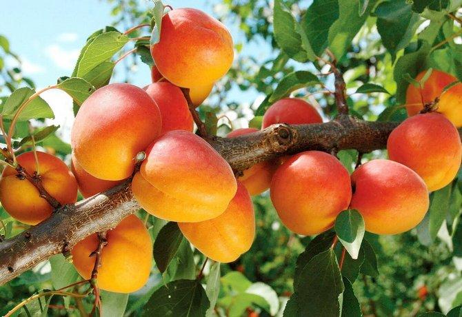 Дерево приносит крупные плоды массой 35-60 грамм