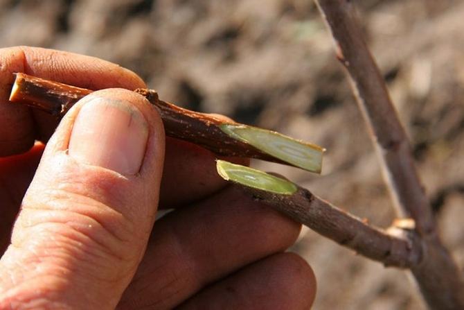 Черенкование производят весной с взрослого абрикоса