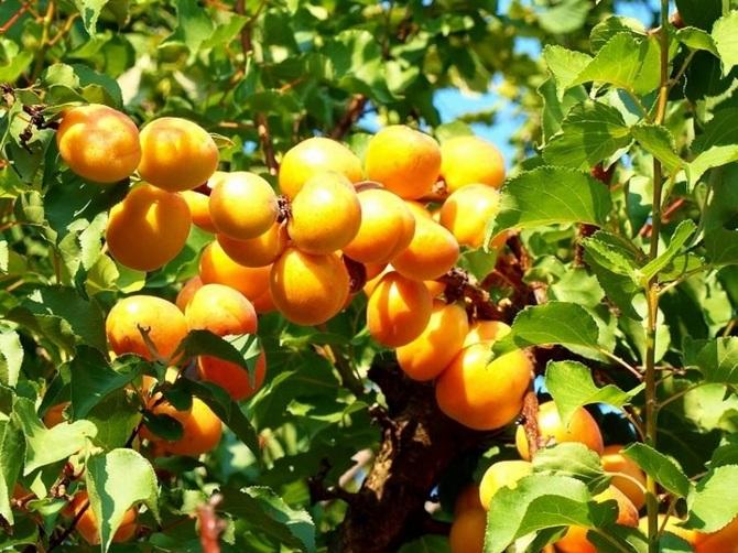 Абрикос отлично подходит для выращивания на Урале и в Сибири