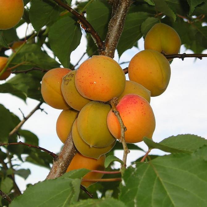 Из-за неглубокой корневой системы дерево плохо переносит засуху