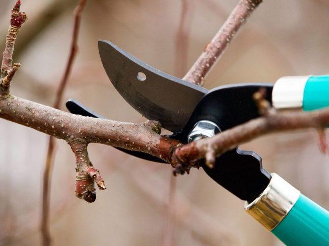 Не стоит увлекаться первой обрезкой, иначе это приведет к задержке плодоношения
