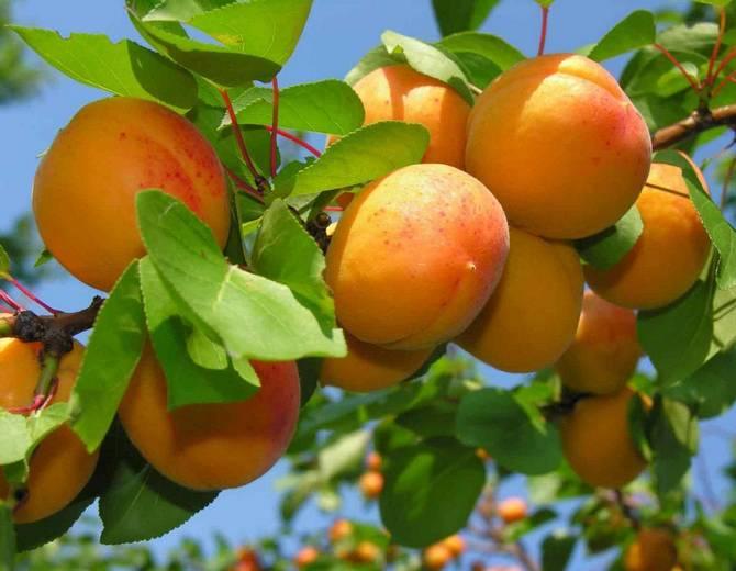 Лучший сосед абрикоса - другой сорт абрикоса