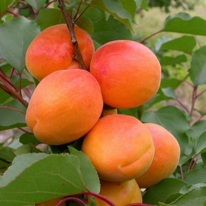 Из минусов стоит отметить не стабильное плодоношение
