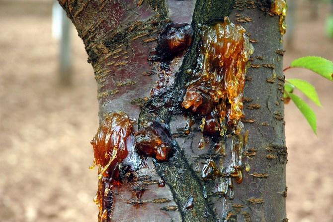 Цитоспороз - одна из болезней абрикоса