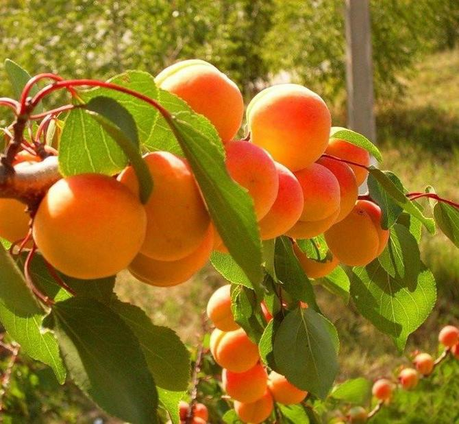 Вес плодов может достигать до 50 грамм