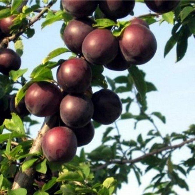 Высокая урожайность - одно из преимуществ Черного бархата
