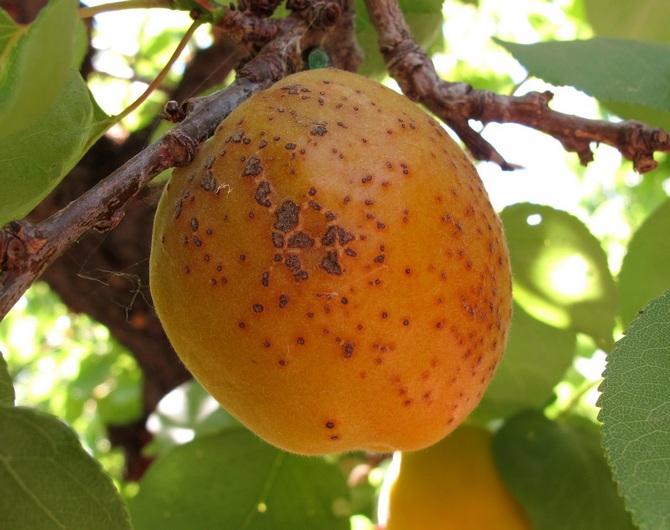 Сохранение испорченных плодов - одна из ошибок при борьбе с болезнью