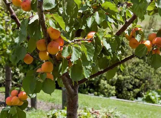 Не стоит создавать тень рядом с абрикосом