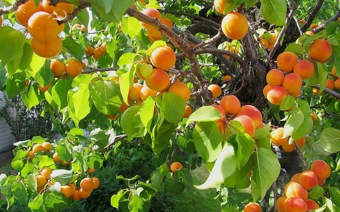 Также стоит исключить рядом с абрикосом посадку сильно разрастающихся кустарников