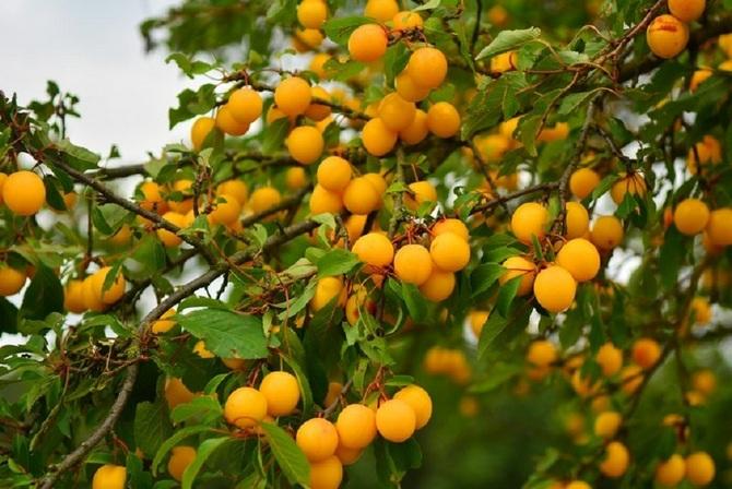 Алыча - хороший сосед для абрикоса