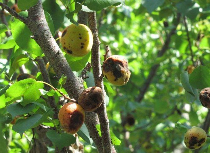 Минилиоз может полностью погубить дерево