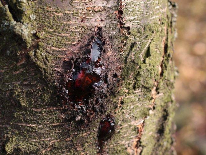 Камедь на абрикосе может возникнуть и из-за грибков