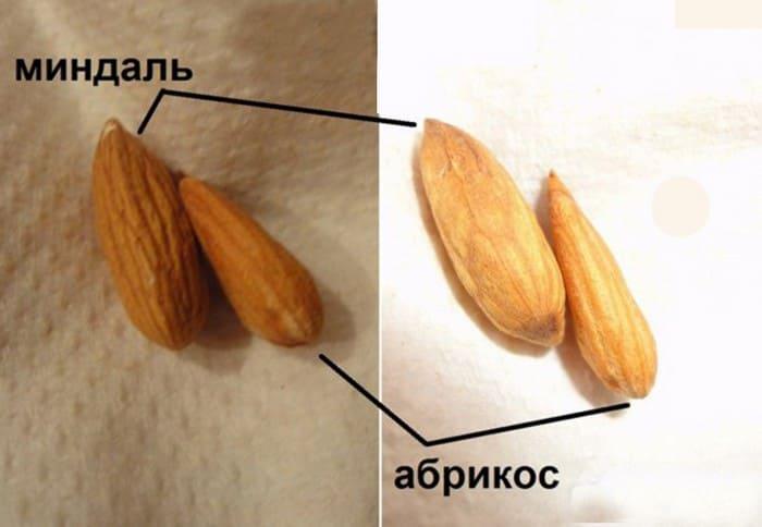 Отличия миндаля от ядра абрикоса