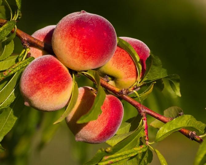 Персик будет подавляться абрикосом при расстоянии между деревьями менее 7 метров