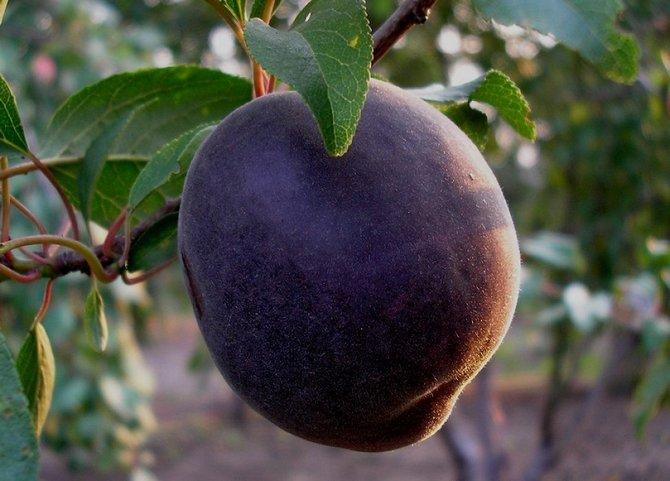 Черный бархат был получен путем селекции абрикоса с алычой