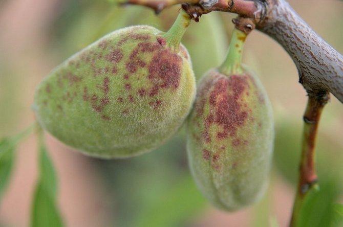 В качестве мер борьбы пораженные плоды следует убрать вместе с веткой