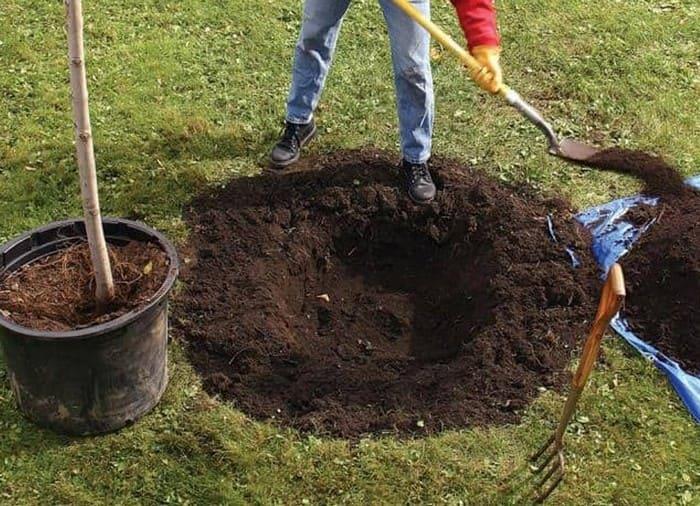 Посадочная яма для саженца груши