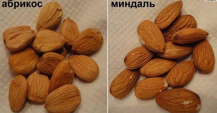 Сходства миндаля и абрикосовой косточки