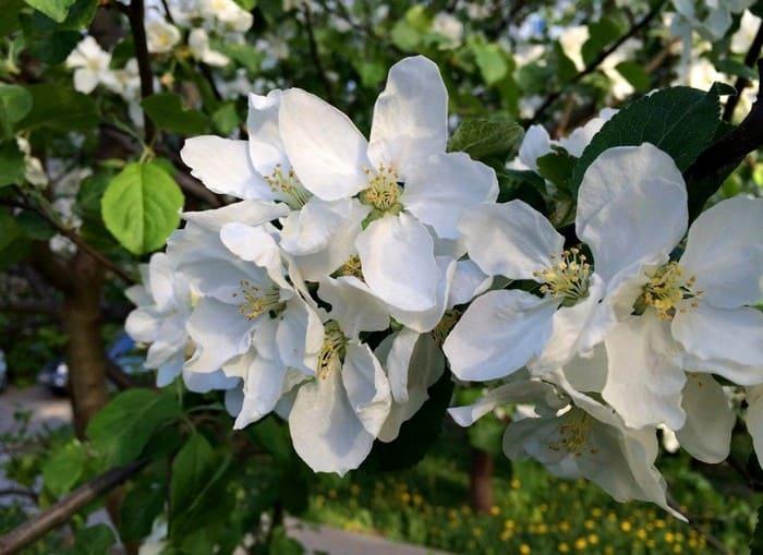 Цветение груши Свердловчанка