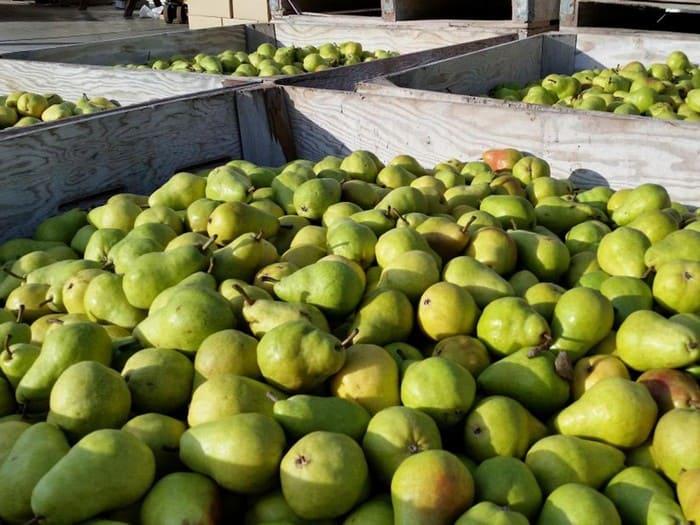 Урожай груш