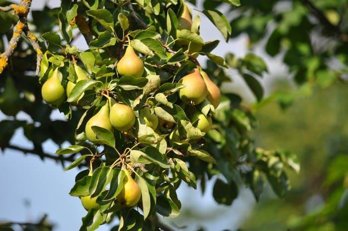 Ветка дерева груши Бессемянка