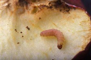 Личинка грушевой плодожорки