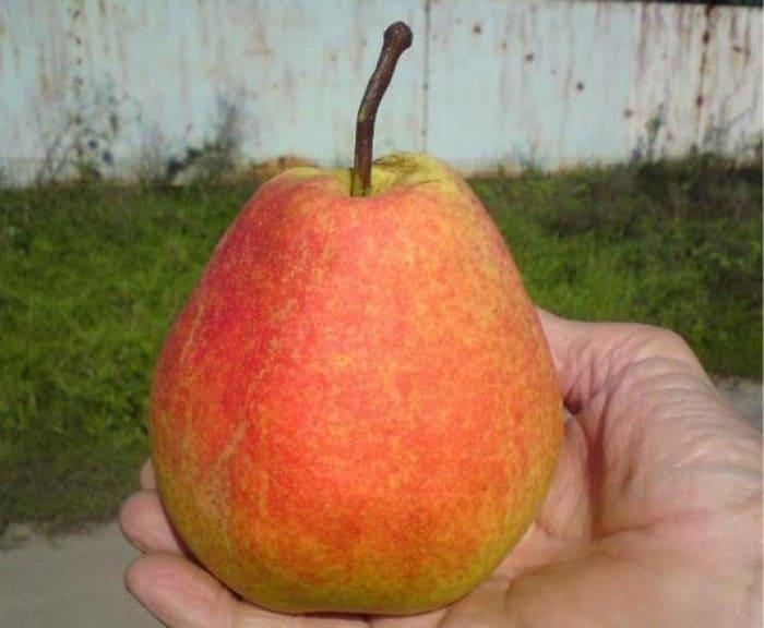 Плод груши сорта Тихий Дон