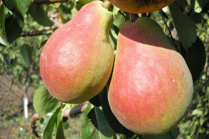 Плоды груши Фаворитка