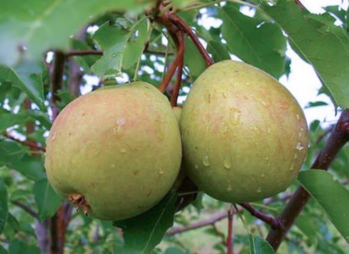 Плоды груши сорта Богатая