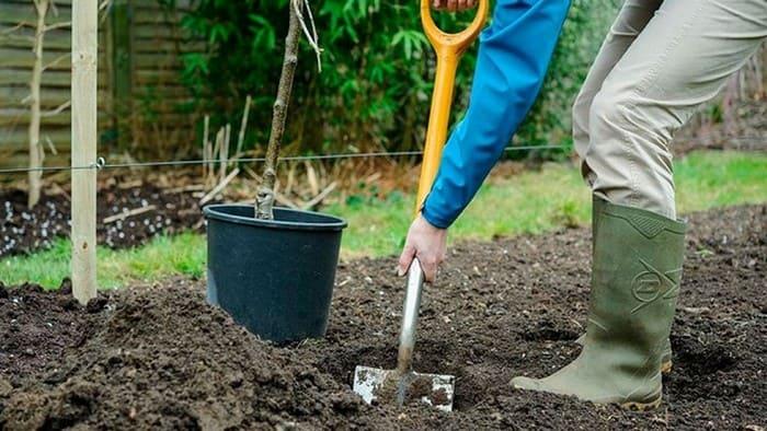 Подготовка места для посадки груши