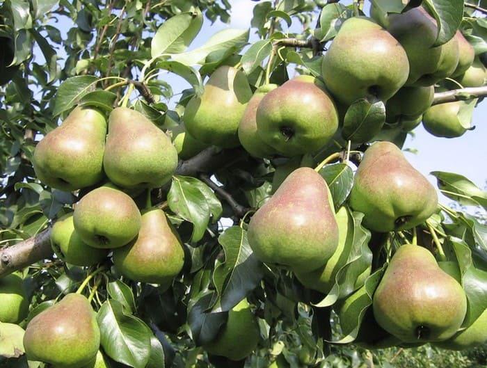 Урожайная груша
