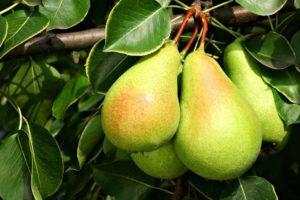 Плоды груши Санта Мария