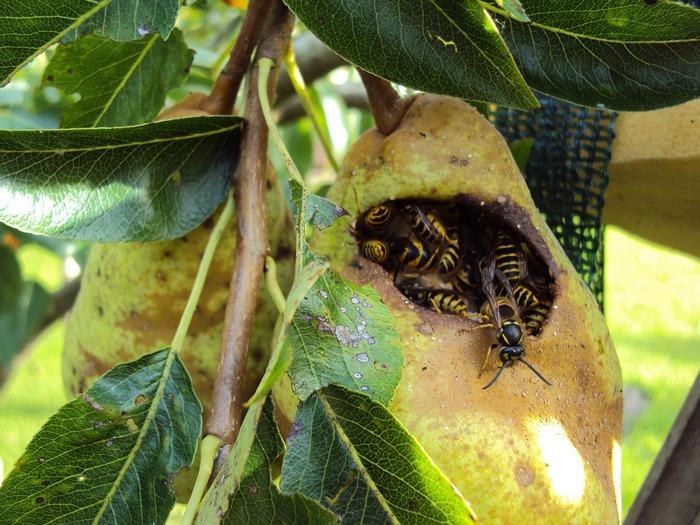 Часто кожицу груш повреждают насекомые и птицы