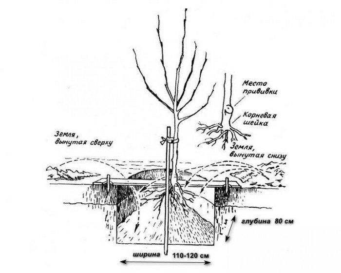 Действия при посадке Аленушки не отличаются от манипуляций с другими плодовыми деревьями