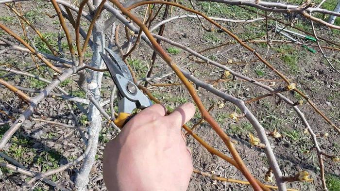 Дерево данного сорта начинают обрезать уже со второго года жизни