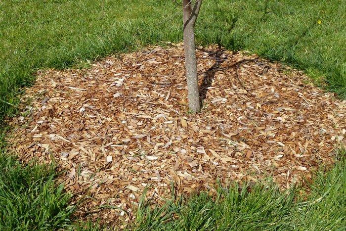 Для предотвращения роста сорняков почву рекомендуют мульчировать