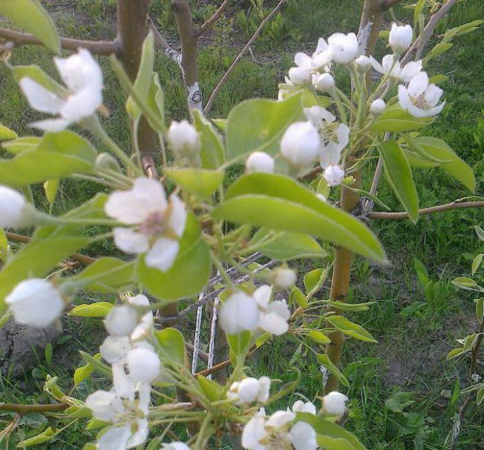 Груша Брянская красавица цветёт позже других сортов