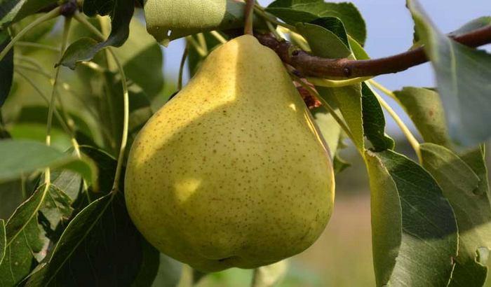 Груша Пермячка — летний среднеспелый сорт