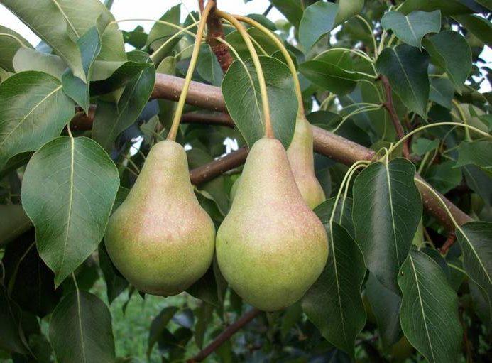 Груша Самарская красавица является раннеосенней плодовой культурой